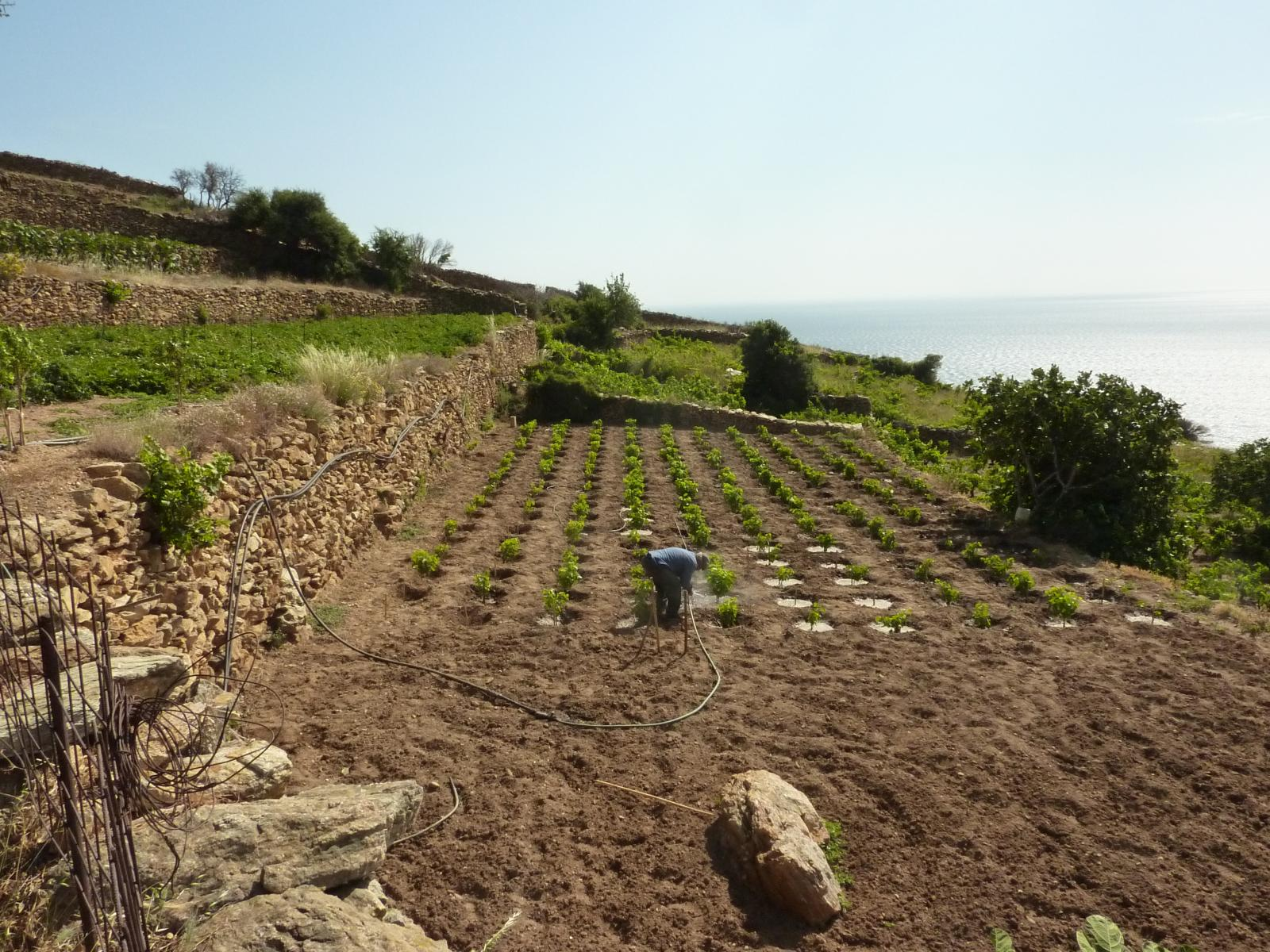 Cultivation on terraces in Amygthalia